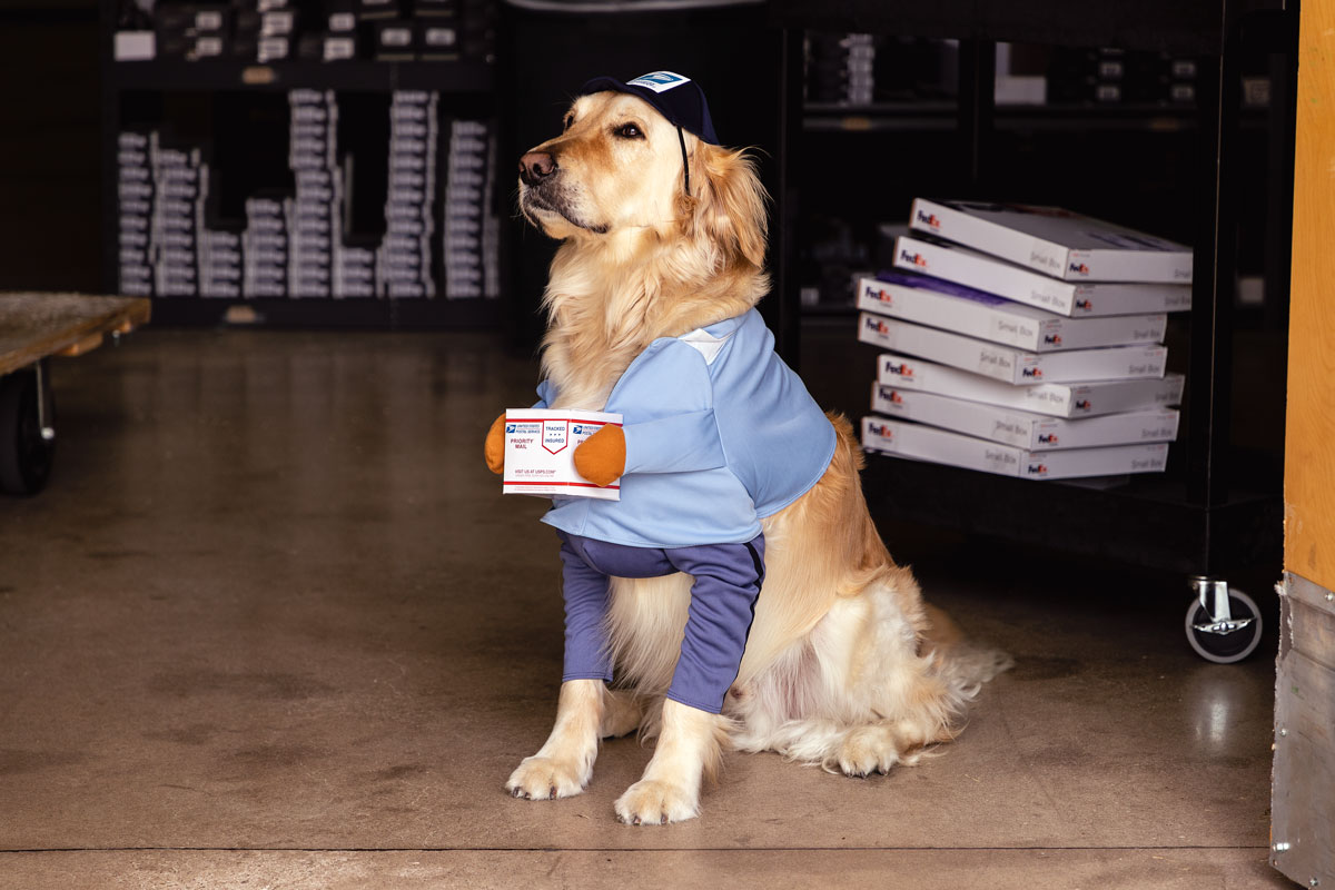 Tucker, the office golden retreiver, in a postal worker outfit